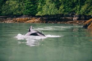 nimmo-bay-dolphin